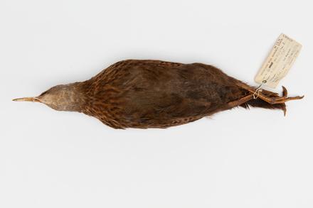 Gallirallus australis scotti; LB2665; © Auckland Museum CC BY