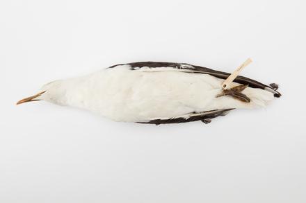 Larus dominicanus; LB3018; © Auckland Museum CC BY