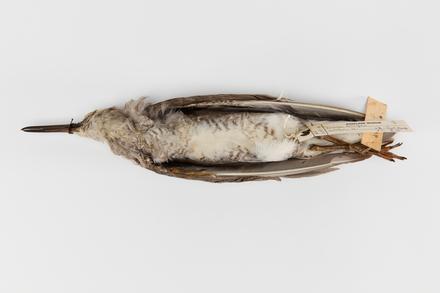 Tringa brevipes; LB3403; © Auckland Museum CC BY