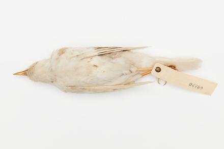Turdus merula; LB4789; © Auckland Museum CC BY