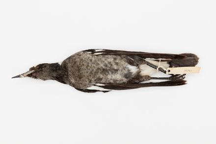 Gymnorhina tibicen; LB4913; © Auckland Museum CC BY