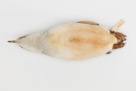 Eudyptula minor; LB5011; © Auckland Museum CC BY