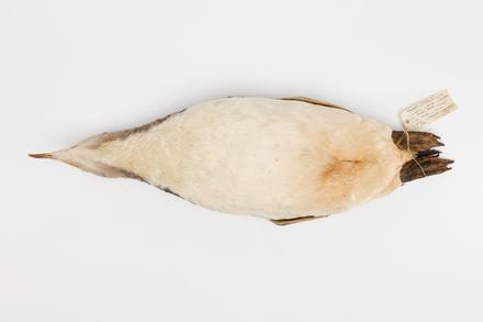 Megadyptes antipodes; LB5047; © Auckland Museum CC BY