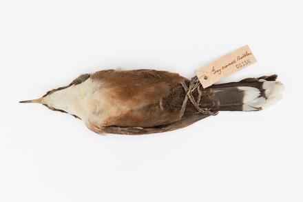 Pomatostomus temporalis; LB6156; © Auckland Museum CC BY