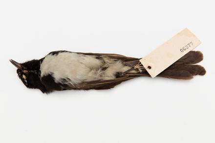 Rhipidura leucophrys; LB6277; © Auckland Museum CC BY