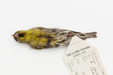 Carduelis spinus; LB6367; © Auckland Museum CC BY