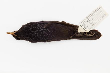 Myiophoneus caeruleus; LB6374; © Auckland Museum CC BY