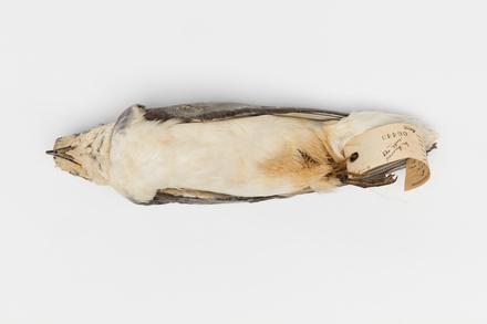 Halobaena caerulea; LB6443; © Auckland Museum CC BY