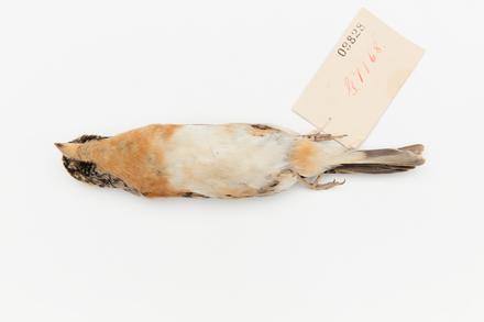 Fringilla montifringilla; LB9828; © Auckland Museum CC BY