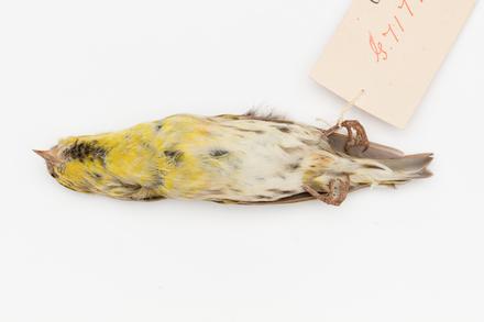 Carduelis spinus; LB9840; © Auckland Museum CC BY