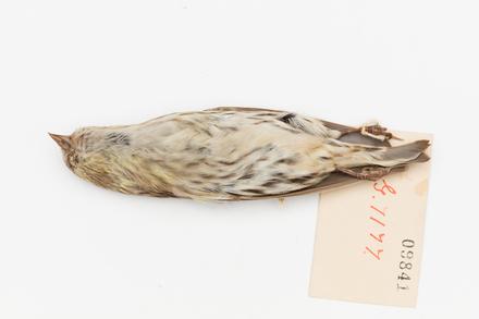 Carduelis spinus; LB9841; © Auckland Museum CC BY