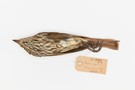 Turnagra capensis; LB4518; © Auckland Museum CC BY