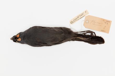 Callaeas cinerea; LB4533; © Auckland Museum CC BY