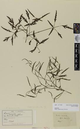 Rubus squarrosus, AK4730, N/A