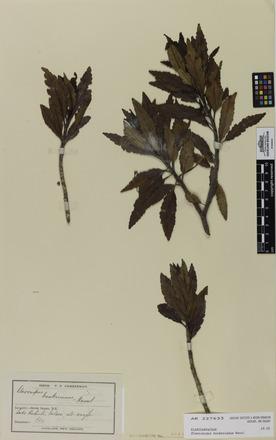 Elaeocarpus hookerianus, AK227635, N/A