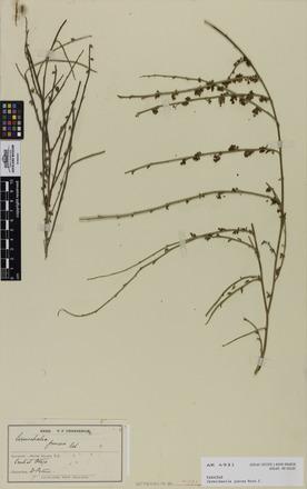 Carmichaelia juncea, AK4931, N/A