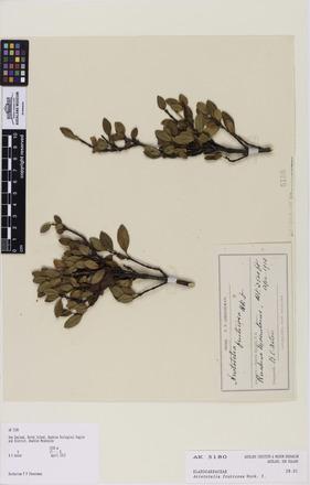 Aristotelia fruticosa, AK5180, N/A