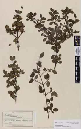 Aristotelia fruticosa, AK5184, N/A