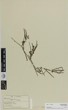 Parsonsia capsularis; AK7363; © Auckland Museum CC BY