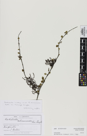Korthalsella lindsayi, AK232463, © Auckland Museum CC BY