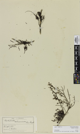Korthalsella salicornioides, AK3871, © Auckland Museum CC BY