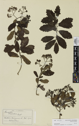 Pennantia corymbosa, AK5112, © Auckland Museum CC BY