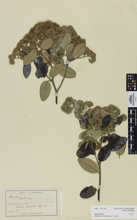 Pomaderris kumeraho, AK5131, © Auckland Museum CC BY