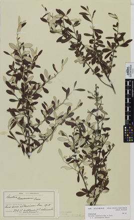 Corokia buddleioides C. cotoneaster, AK229890, © Auckland Museum CC BY