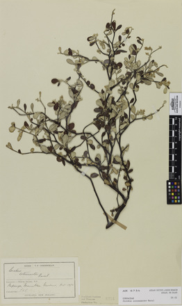 Corokia cotoneaster, AK6754, © Auckland Museum CC BY