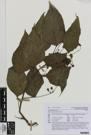 AK344598, Macaranga densiflora, Photographed by: Eugene Wong Doe, photographer, digital, 13 Jul 2016, © Auckland Museum CC BY
