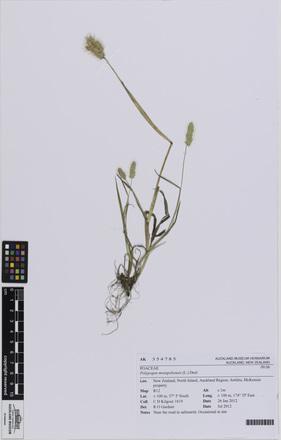AK354785, Polypogon monspeliensis, Photographed by: Eugene Wong Doe, photographer, digital, 29 Jun 2016, © Auckland Museum CC BY
