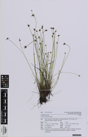 AK354849, Isolepis inundata, Photographed by: Eugene Wong Doe, photographer, digital, 29 Jun 2016, © Auckland Museum CC BY