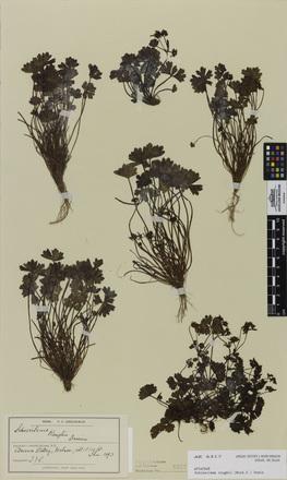 Schizeilema roughii, AK6317, © Auckland Museum CC BY