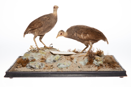 Megapodius pritchardii; LB8027; © Auckland Museum CC BY