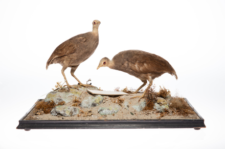 Megapodius pritchardii; LB8028; © Auckland Museum CC BY