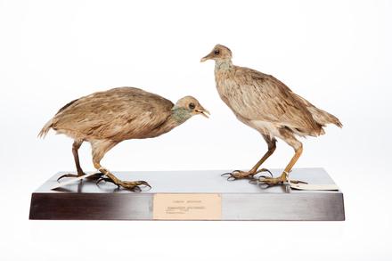 Megapodius pritchardii; LB8143; © Auckland Museum CC BY