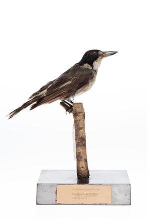Cracticus torquatus; LB8018; © Auckland Museum CC BY