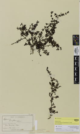 Coprosma dumosa, AK8860, © Auckland Museum CC BY