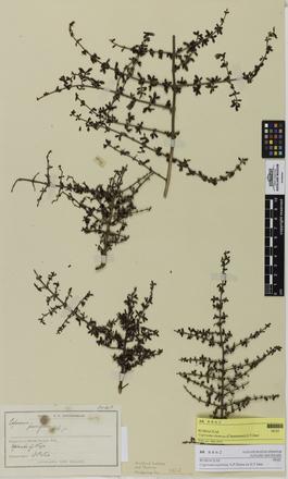 Coprosma dumosa, AK8862, © Auckland Museum CC BY