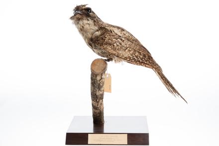 Podargus papuensis; LB7938; © Auckland Museum CC BY