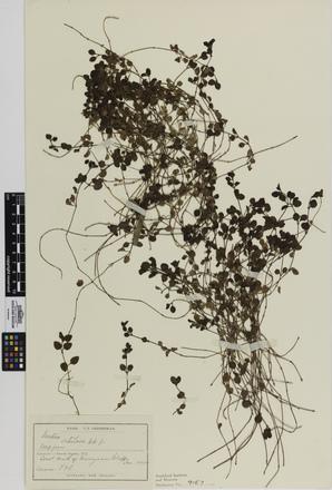 Leptostigma setulosum; AK9157; © Auckland Museum CC BY