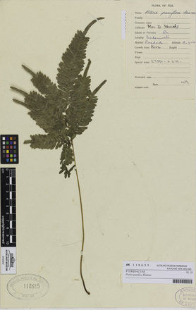 Pteris pacifica, AK118655, © Auckland Museum CC BY