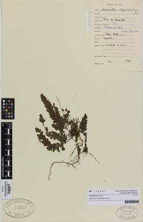 AK118687; Adiantum hispidulum; Photographed by: Eugene Wong Doe; photographer; digital; 21 Jul 2016; © Auckland Museum CC BY