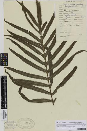 AK118716; Microsorum parksii; Photographed by: Eugene Wong Doe; photographer; digital; 27 Jul 2016; © Auckland Museum CC BY