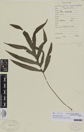 Microsorum parksii, AK118745, © Auckland Museum CC BY