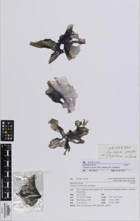 Pyropia plicata, AK308360, © Auckland Museum CC BY