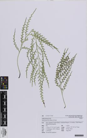 Asplenium flaccidum, AK354744, © Auckland Museum CC BY