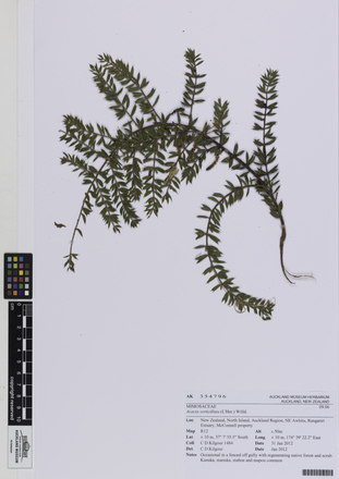 AK354796; Acacia verticillata; Photographed by: Linda Adams; photographer; digital; 25 Jul 2016; © Auckland Museum CC BY