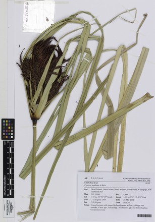AK360564; Cyperus ustulatus; Photographed by: Linda Adams; photographer; digital; 20 Jul 2016; © Auckland Museum CC BY