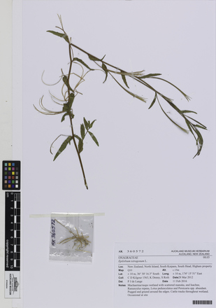 AK360572; Epilobium tetragonum; Photographed by: Linda Adams; photographer; digital; 20 Jul 2016; © Auckland Museum CC BY